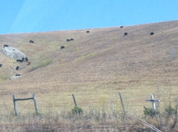 Look at those cows grazing!